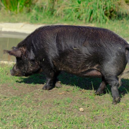 american guinea hog