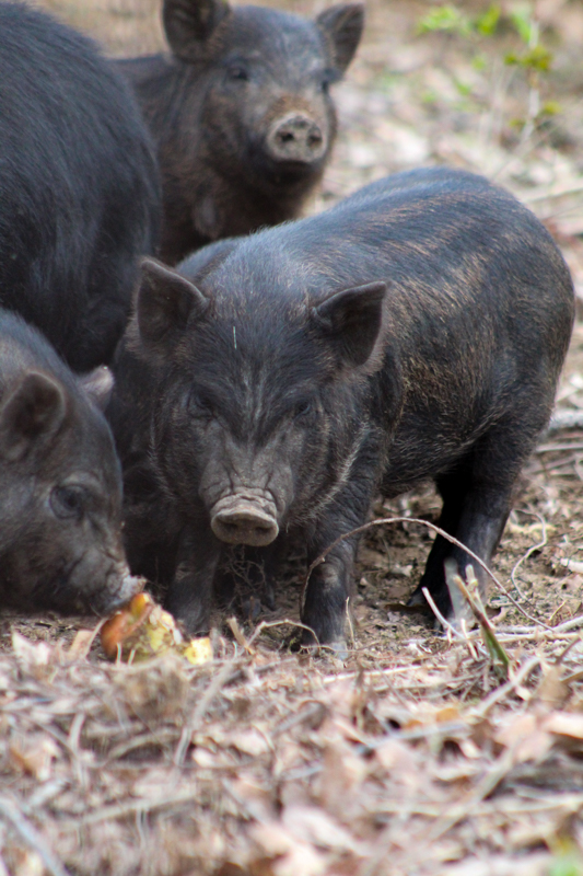 piglets eating an apple core