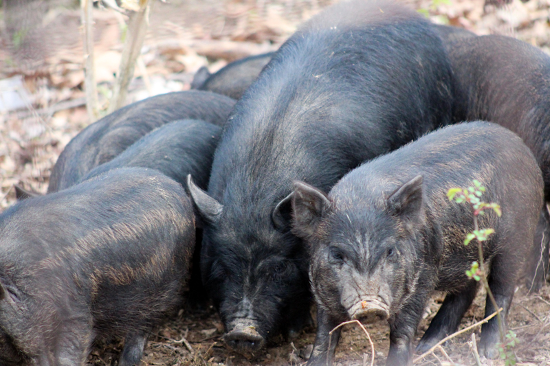six small pigs and one large pig