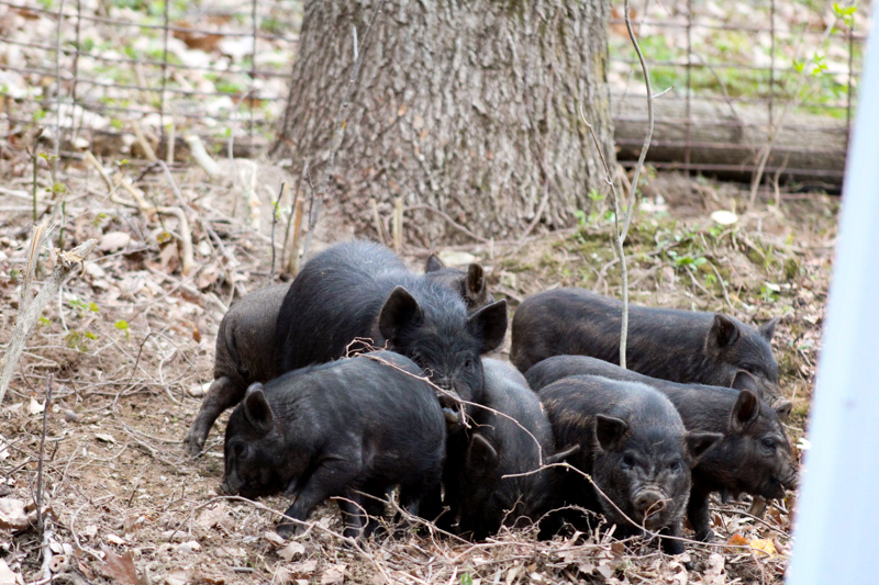 piglets outside in front of a tree