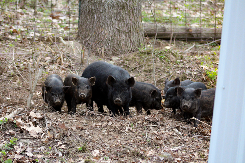 Piglets in their pen