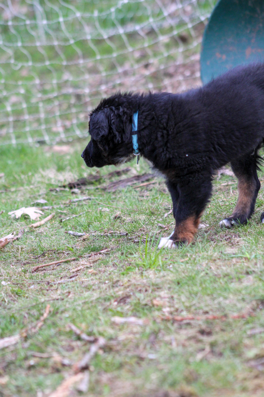 Australian Shepard puppy named Reggie