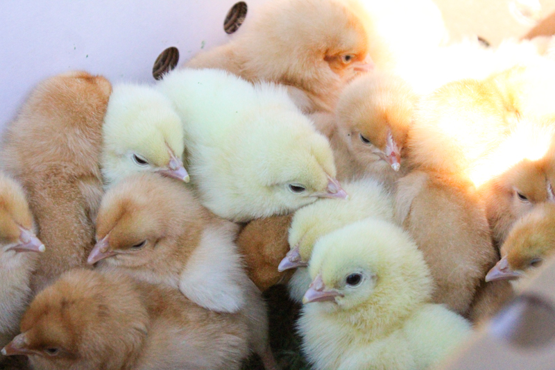 baby chicks in a shipping box