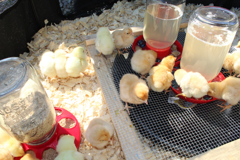 chicks in the brooder