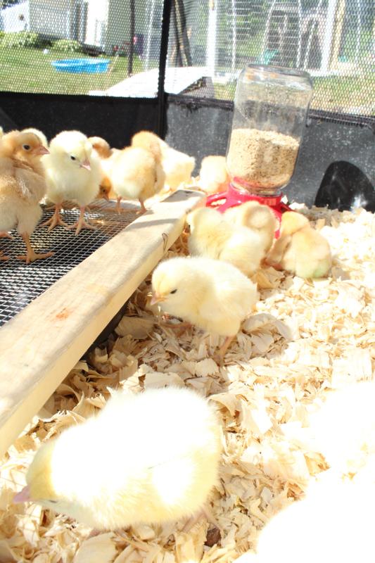 baby chicks exploring
