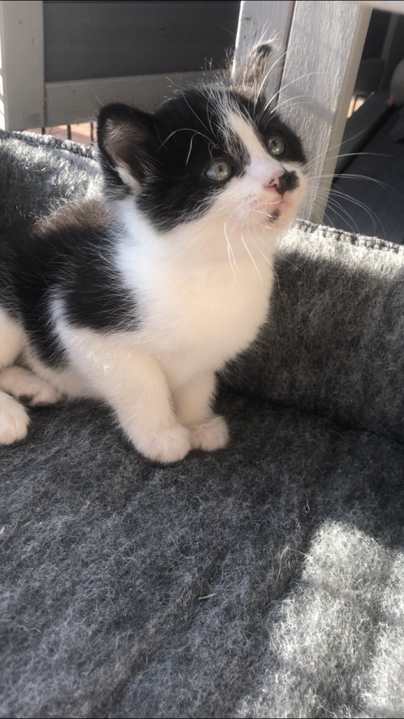 black and white kitten looking up