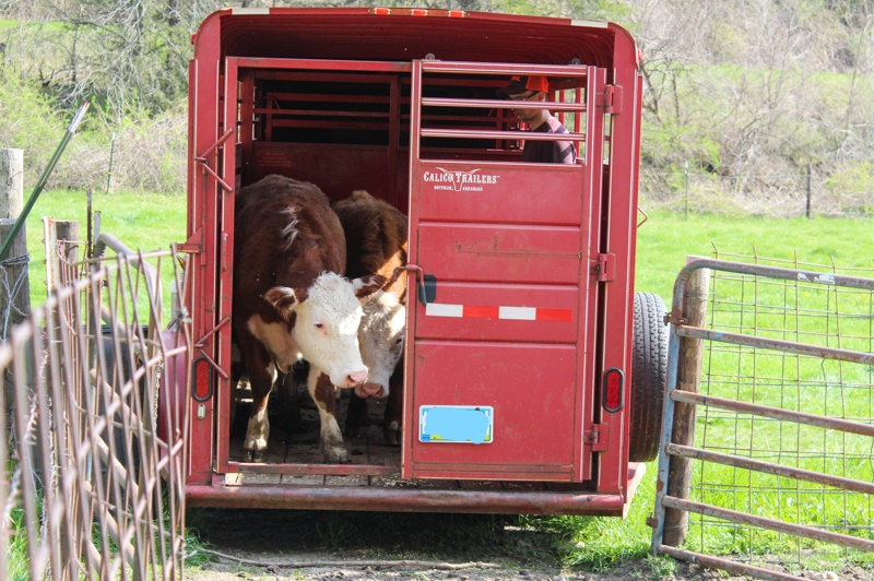 Two Herefords standing at the stock door of a cattle trailer looking out