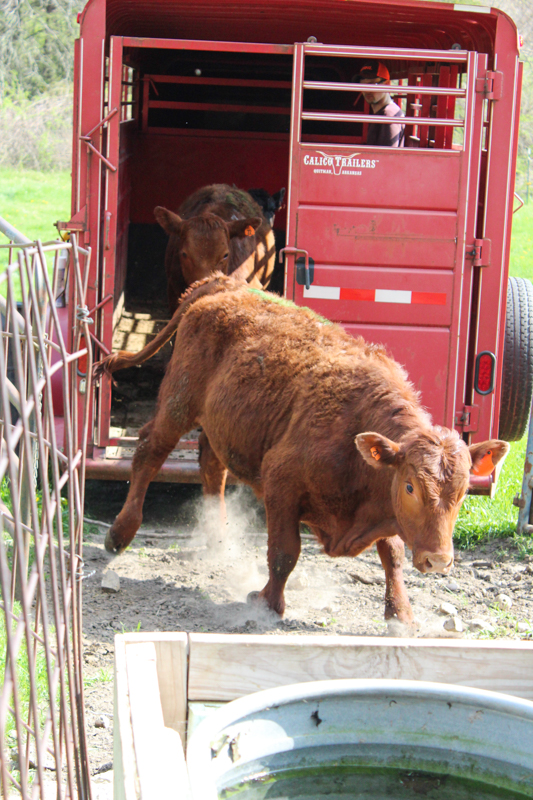 Cattle unloading from the trailer