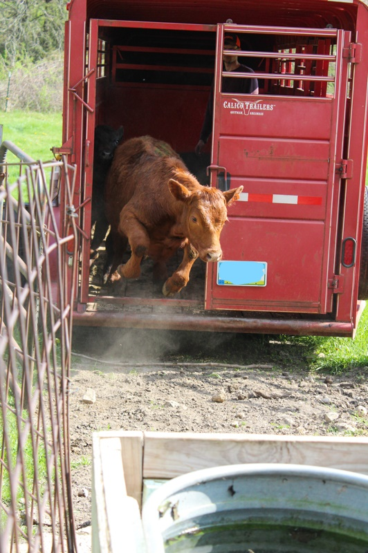 red angus calf jumping out of the stock trailer