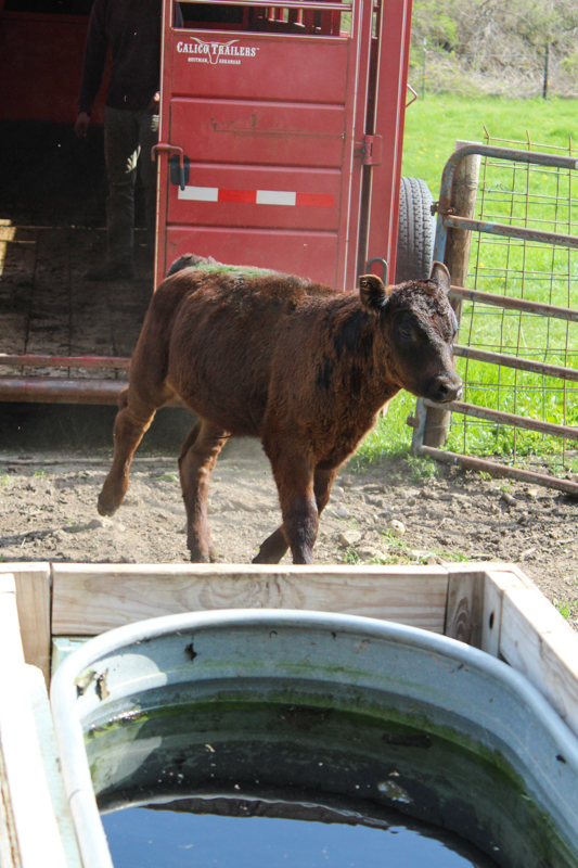 Black angus calf unloading from the cattle trailer