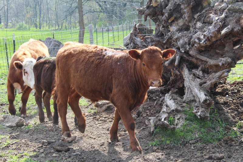 Red angus calf walking in front of tree stump