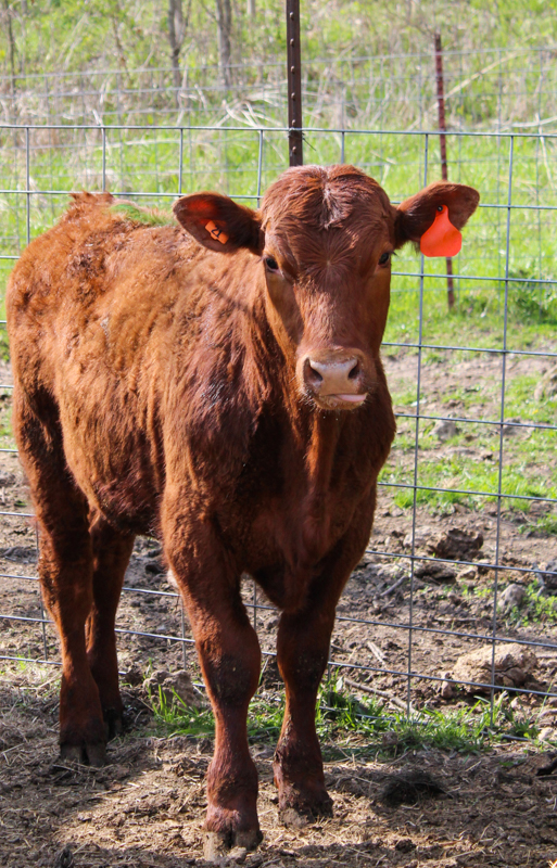 red angus cow looking at the camera