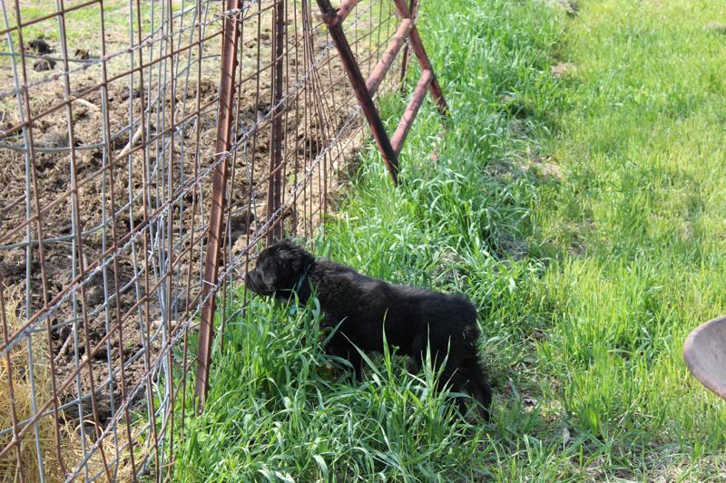 Australian shepherd puppy watching cattle through the fence
