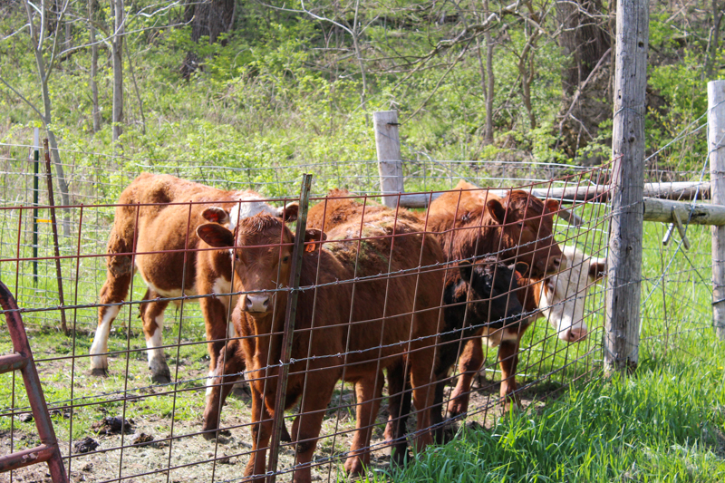 group of cattle behind a fence