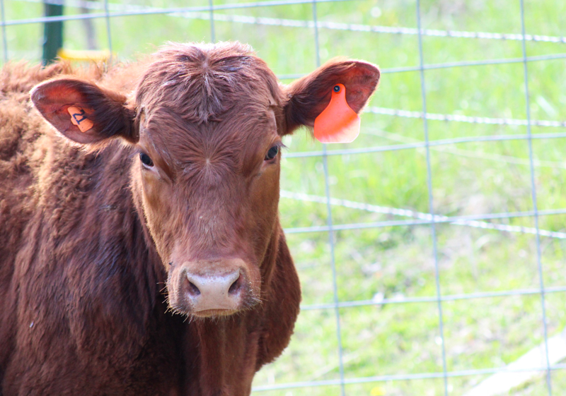 close up of red angus cow head