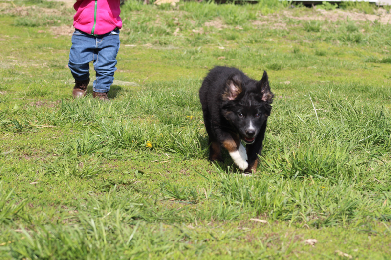 puppy running with his ears flopping up
