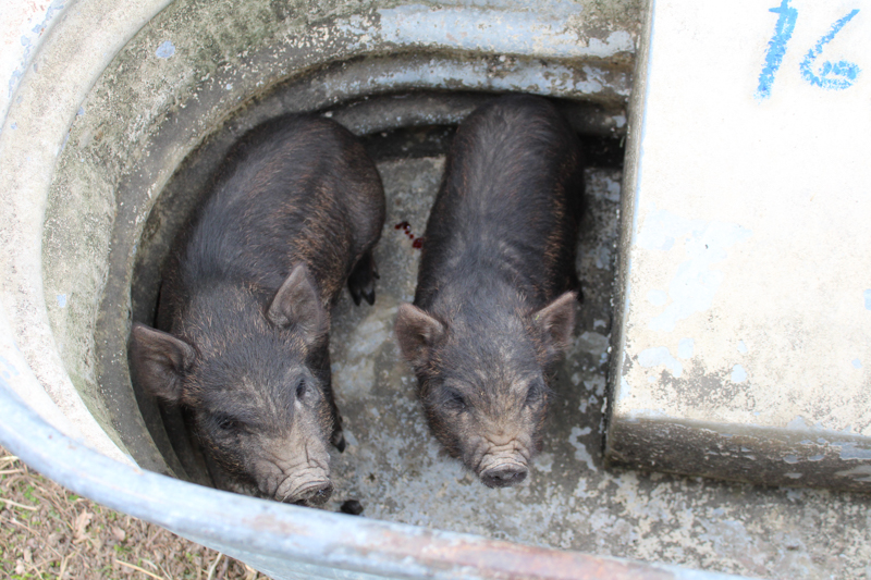 two castrated pig in a trough